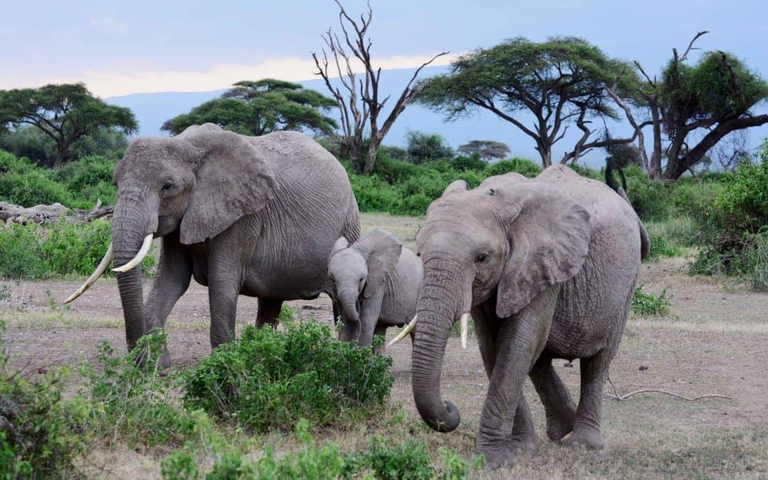 Elefantene og masaiene i Amboseli