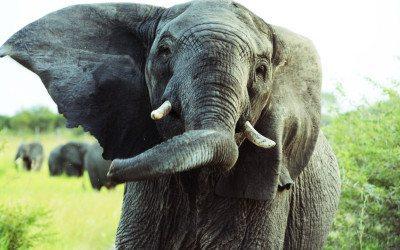 Tett på elefantene i Tembe