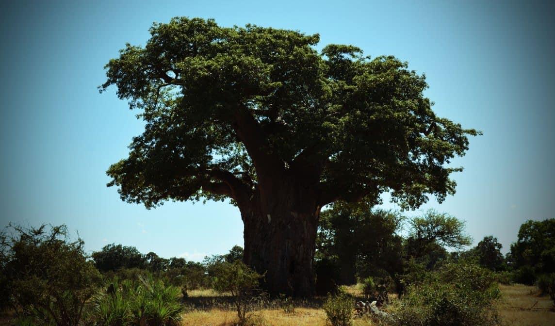 De vakre baobabtrærne er hjem for mange fuglearter og flaggermus.
