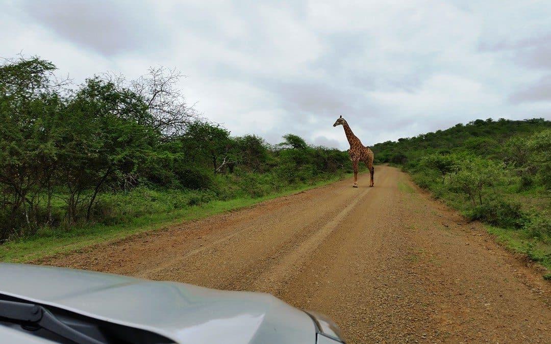 På vei til Zululand – det store zulubryllupet