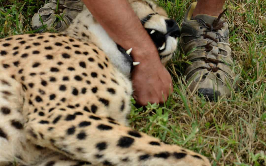 Møte med en leken gepard
