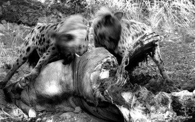 Tett på hyenene